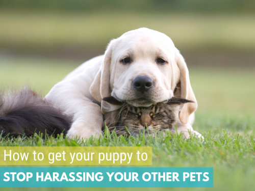 How to get your puppy to stop harassing your cat, older dog, or other pets
