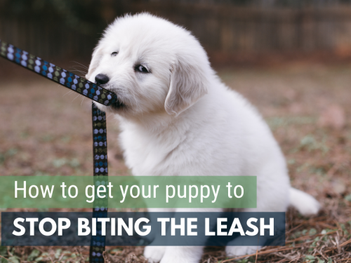 get your puppy to stop biting the leash